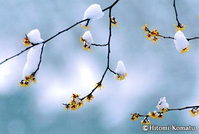 今月の一枚・2004年3月「マンサクと春雪」