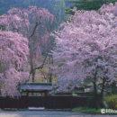 桜と黒塀(秋田県角館町)