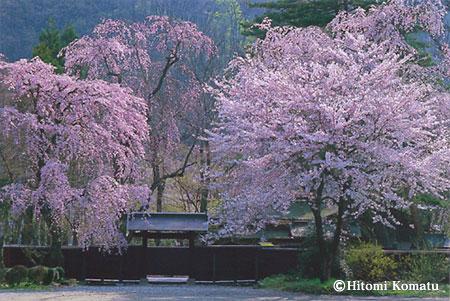 今月の一枚・2005年4月「桜と黒塀(秋田県角館町)」