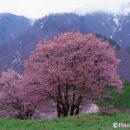 西蔵王牧場の大山櫻(山形県山形市)