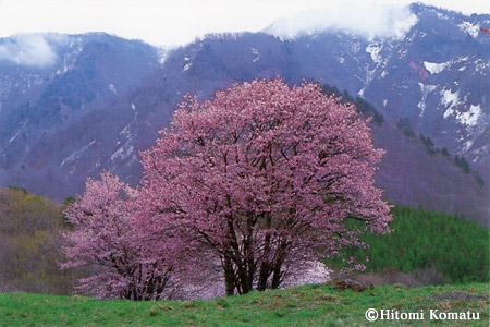 今月の一枚・2005年5月「西蔵王牧場の大山櫻(山形県山形市)」