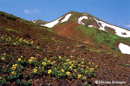 今月の一枚・2005年7月「タカネスミレ咲く秋田駒ヶ岳」