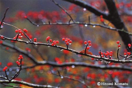 今月の一枚・2005年10月「赤い実と雫」秋田県仙北市(旧田沢湖町)