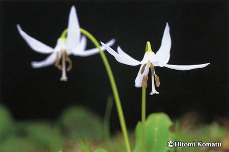 今月の一枚・2006年4月「カタクリ白花」