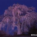 妖艶 かもん桜(福島県・三春町)