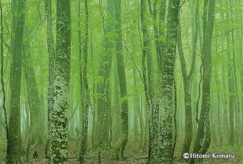 今月の一枚・2008年5月「霧わくブナ二次林」(青森県八甲田)