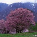 西蔵王牧場の桜(山形県・山形市)