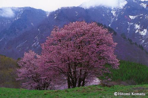 今月の一枚・2009年4月「西蔵王牧場の桜(山形県・山形市)」