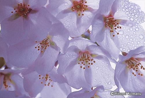 今月の一枚・2010年3月「桜傘」
