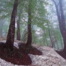 根開きのブナの森(秋田・仙北市)