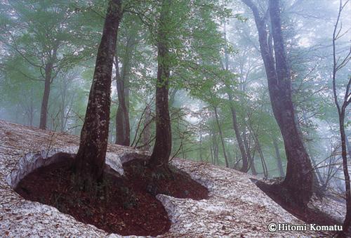 今月の一枚・2010年4月「根開きのブナの森(秋田・仙北市)」