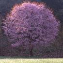 花笑み桜(秋田県 鹿角市)