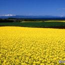 菜の花と陸奥湾(青森県横浜町)