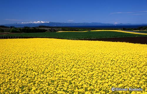 今月の一枚・2011年5月「菜の花と陸奥湾(青森県横浜町)」