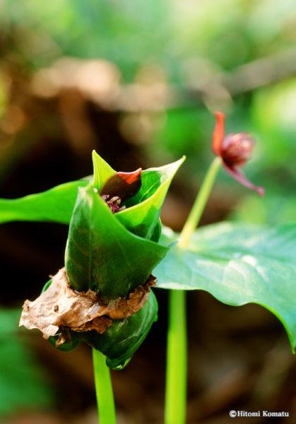 今月の一枚・2012年4月「エンレイソウの花」