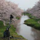 外は吹雪なのに桜の事を書いている