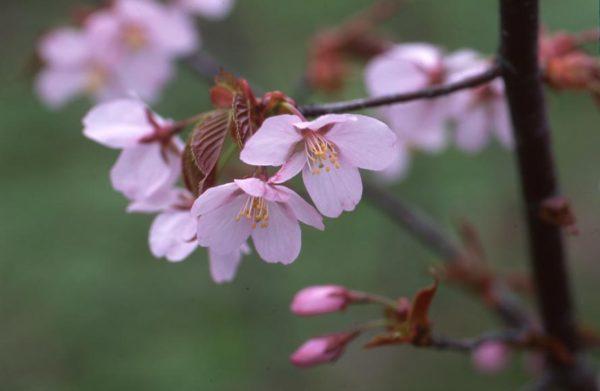 今月の一枚・2013年4月 「大山桜」