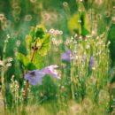 カキドオシの花