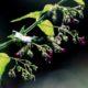 今月の一枚・2014年10月「薬草・クロバナヒキオコシ」